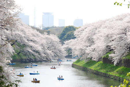 Ueno Park Boat Trip During Cherry Blossom Season
